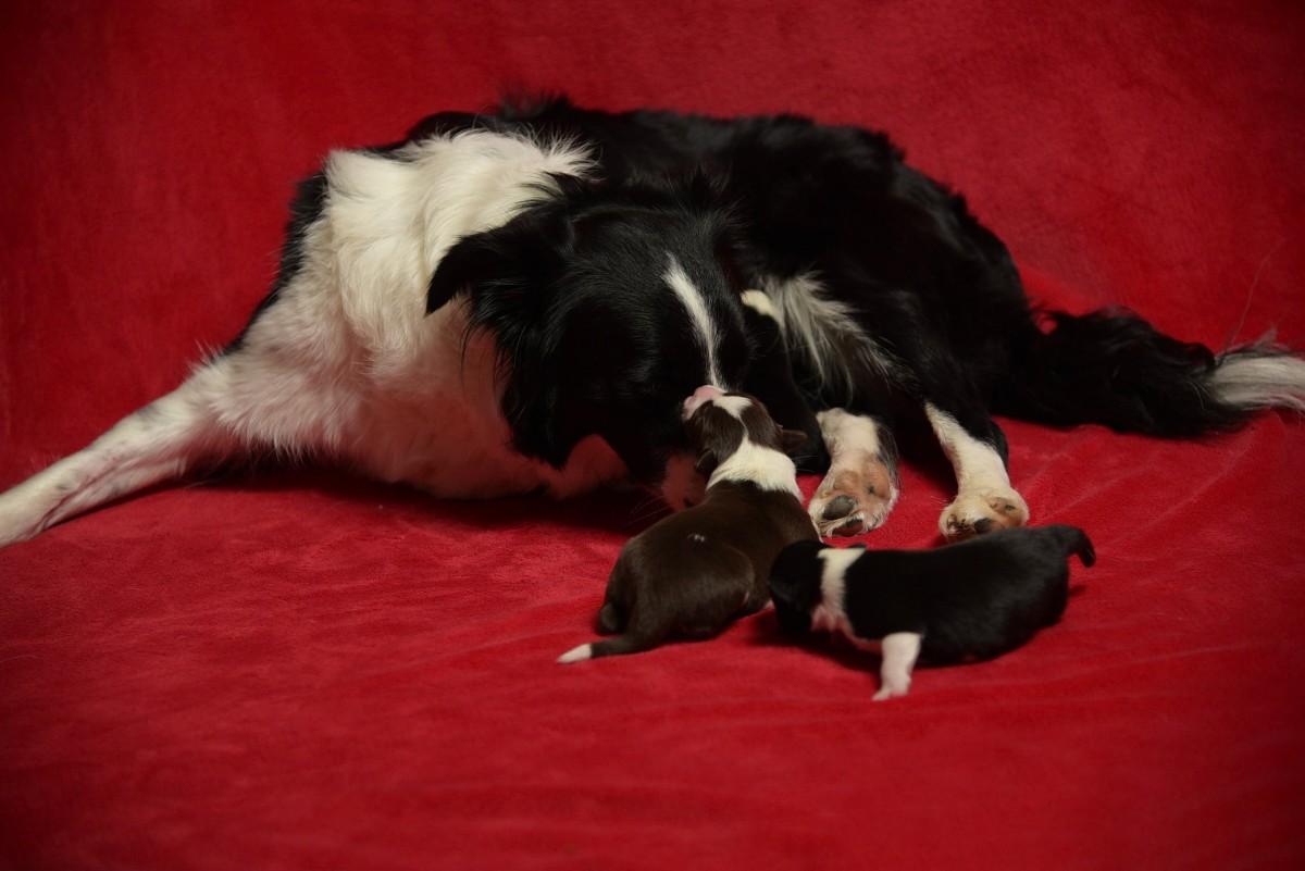 Male puppy BORDER COLLIE