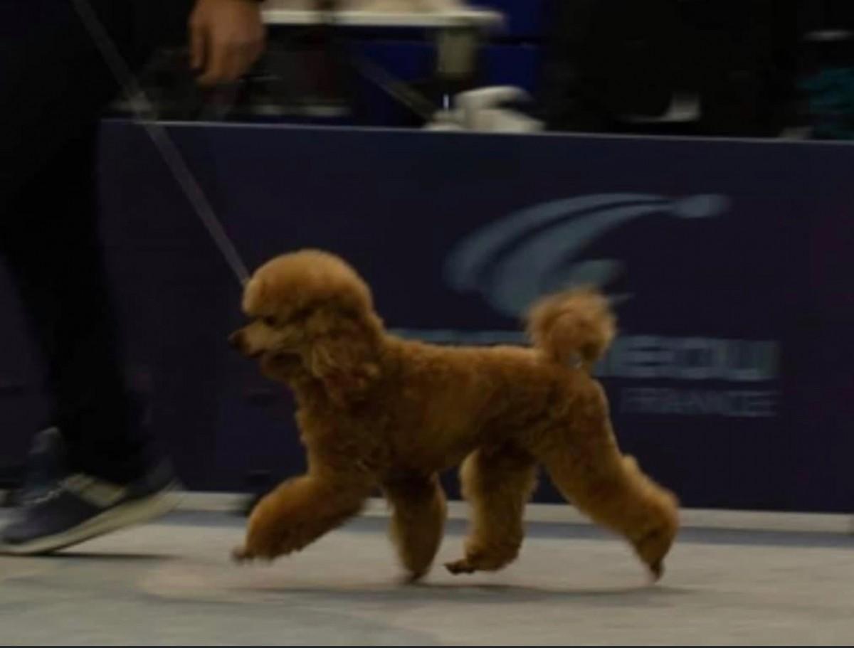 Ares- apricot dwarf poodle