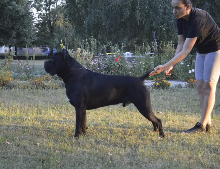 Beautifull female puppy looking for new home | Cane Corso