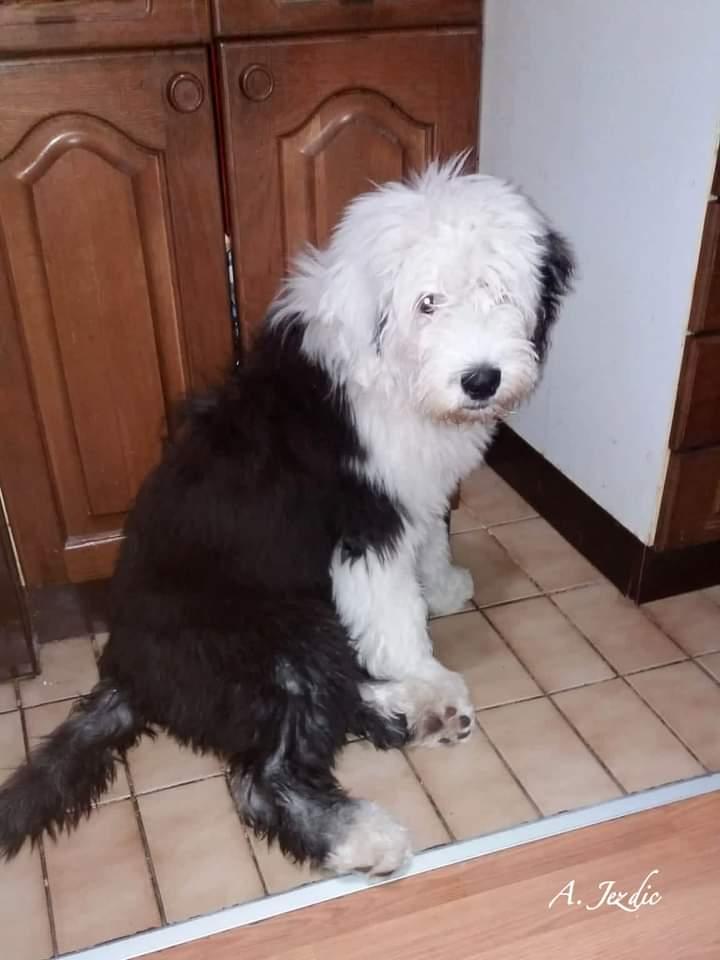 Old english sheepdog female puppy