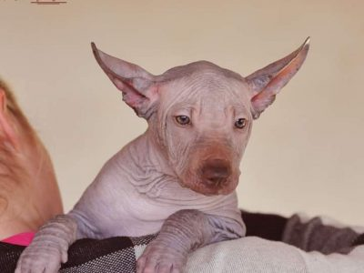 Xoloitzcuintle standard male