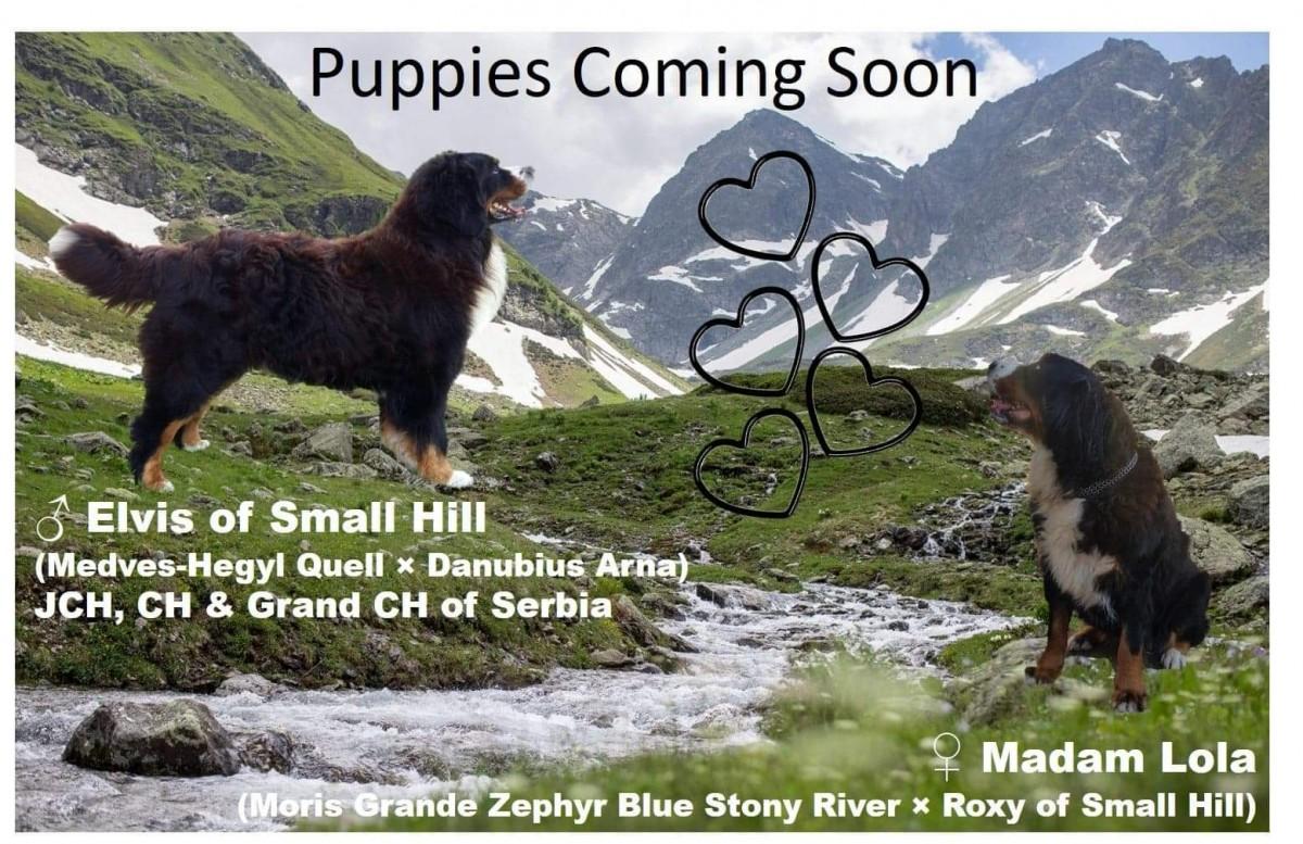 Litter announcement BERNESE MOUNTAIN DOG