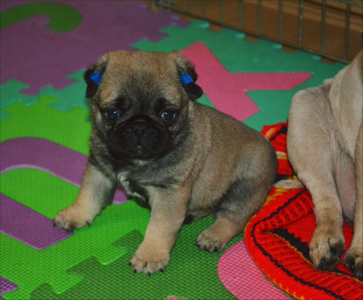 Pug puppies top quality