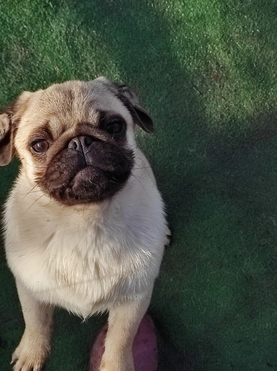 Pug puppies FCI available