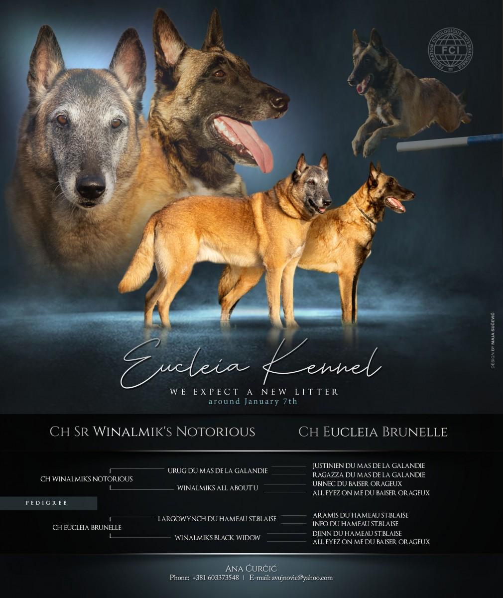 New Eucleia litter BELGIAN SHEPHERD DOG Malinois
