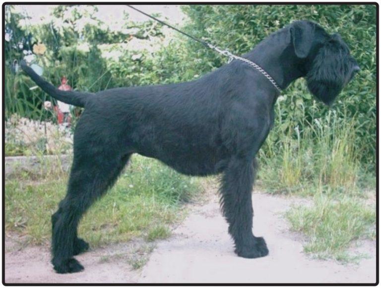 Giant Schnauzer (Riesenschnauzer)  Breed Information