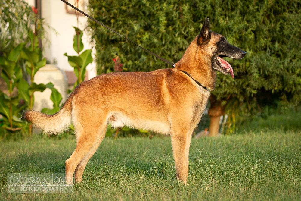 Ch Sr Eucleia Hyperion BELGIAN SHEPHERD DOG Malinois