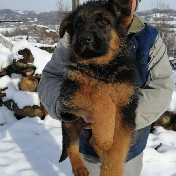 Top Quality German Shepherd Puppies