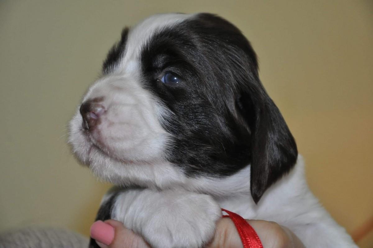 FCI English Springer spaniel puppies