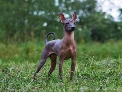 XOLOITZCUINTLE medio open for stud