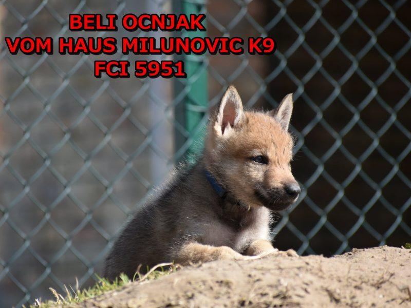 Czechoslovakian wolfdog puppies