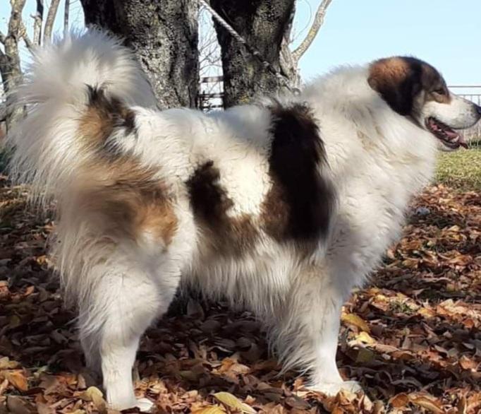 Tornjak Puppies