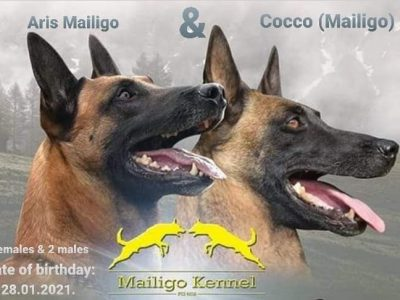 BELGIAN SHEPHERD DOG Malinois Puppies