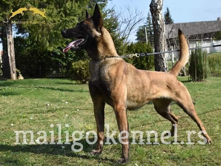 BELGIAN SHEPHERD DOG Malinois Puppies