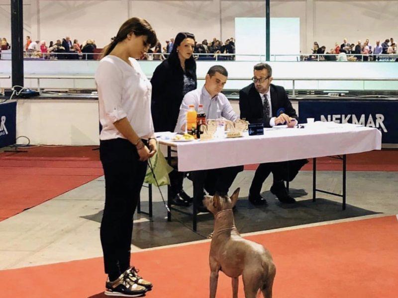 Champion of Srb, Bih and Cro-PERUVIAN HAIRLESS DOG