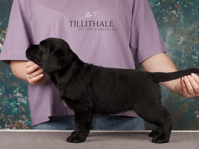 Available females-Labrador Retriever