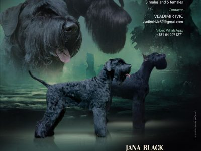 GIANT SCHNAUZER Hd-a,Ed-0,Eyes clear
