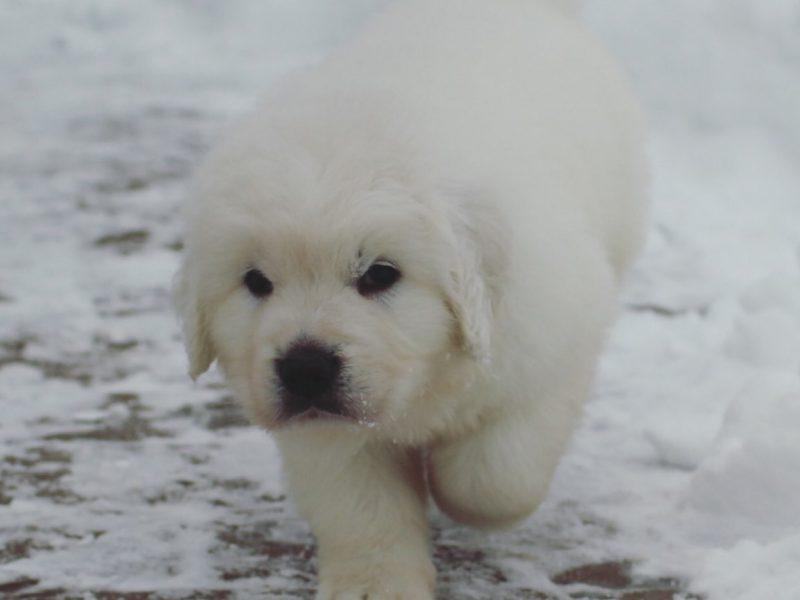 Podgalyanskaya shepherd puppy | TATRA SHEPHERD DOG