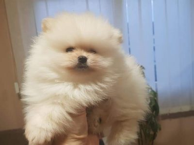 Pomeranian Puppies from Serbia