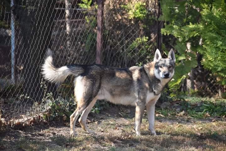 Puppies of Czechoslovakian wolfdog