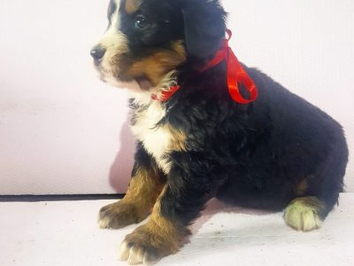 Bernese mountain dog - puppies