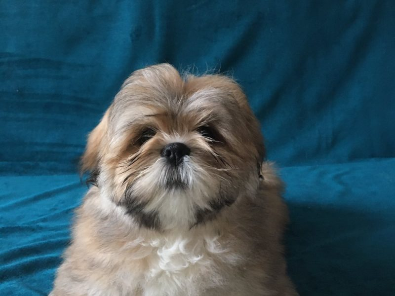 Two girls of the Lhasa Apso breed