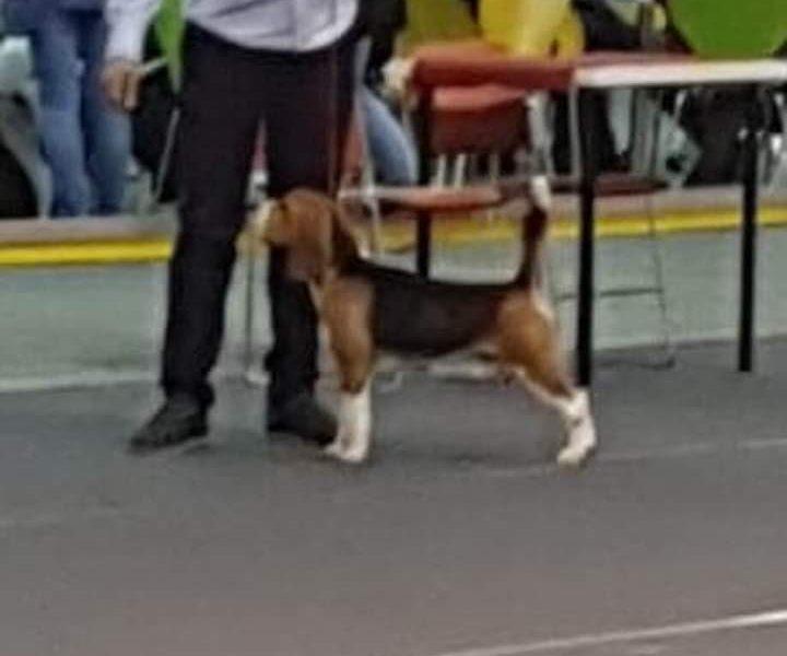 Beagle Stud Dog