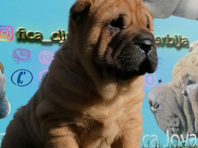 Shar Pei puppy