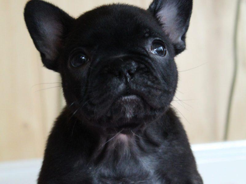 "French bulldog ""D"" litter"