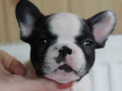 "French bulldog ""D"" litter"