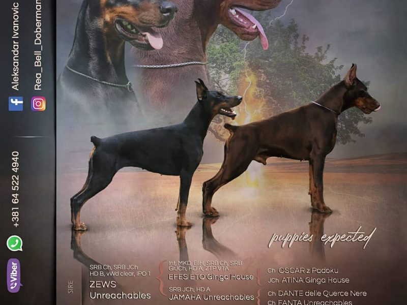 EXPECTING PUPPIES-Dobermann