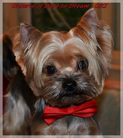 Yorkshire terrier for mating