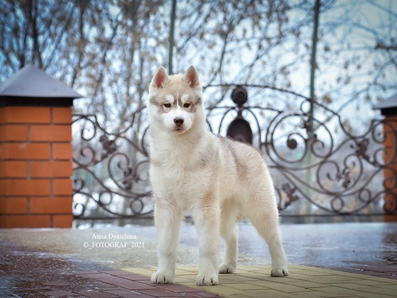 Fusion of the joy of Barley-Siberian Husky