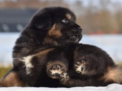 Tibetan mastiff top quality standard puppies