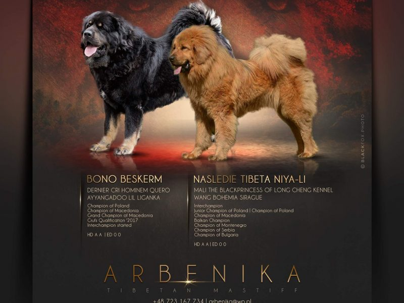 Tibetan mastiff top quality standard puppies