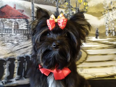 Black Yorkshire Terrier