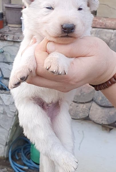 White Swiss Shepherd Dog (Litter L) - Reservations