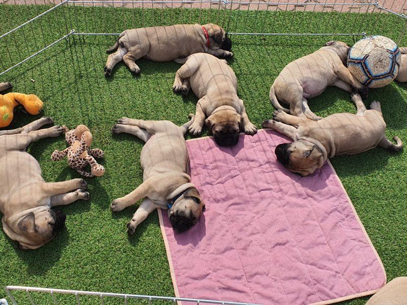 BULLMASTIFF Puppies