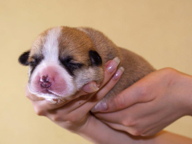 Puppies for sale WELSH CORGI (PEMBROKE)