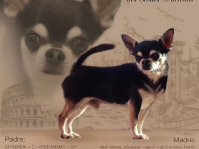 Chihuahua AVAILABLE FOR STUD