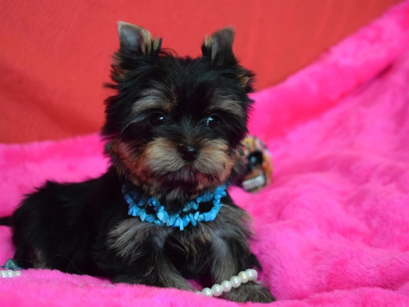 Puppies of Yorkshire Terrier