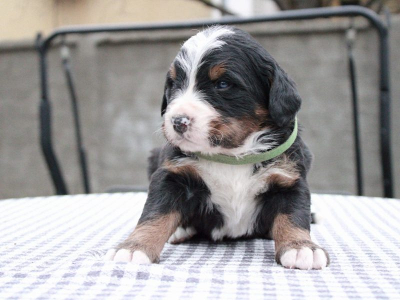 Puppies for sale Bernese Mountain Dog