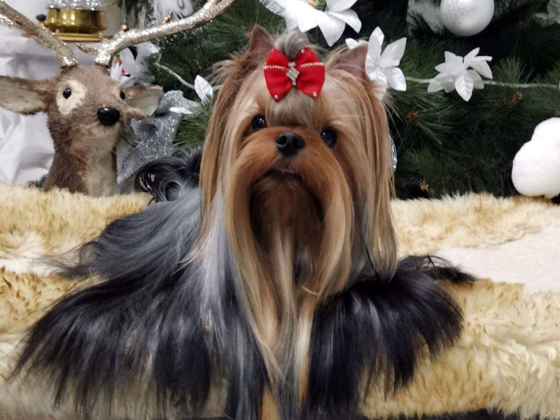 Yorkshire Terrier Stud Dog