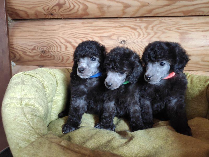 Miniature poodle silver males