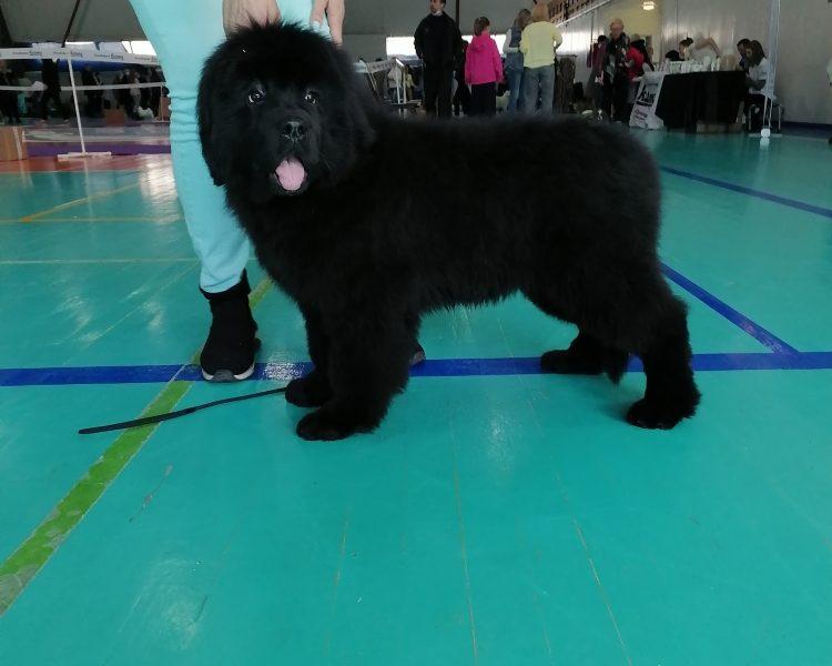 Newfoundland Puppy girl