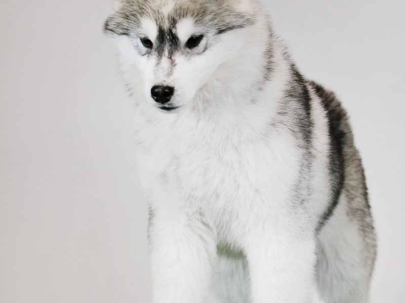 Promising puppies of the Siberian Husky breed for the show.
