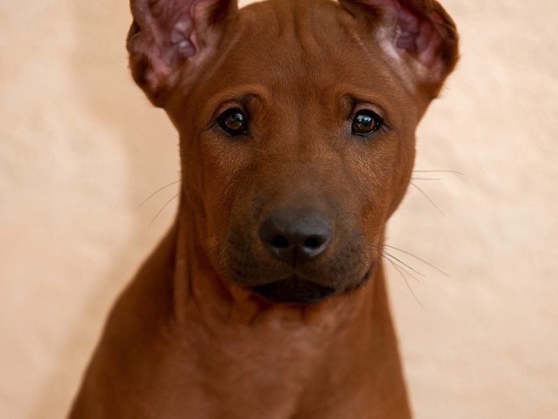 Thai Ridgeback Puppy