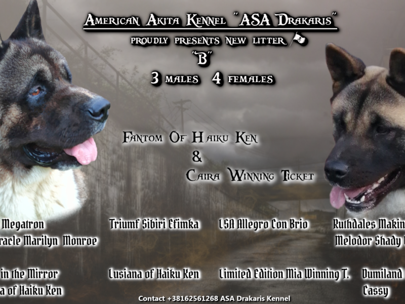 American Akita puppies for sale!!