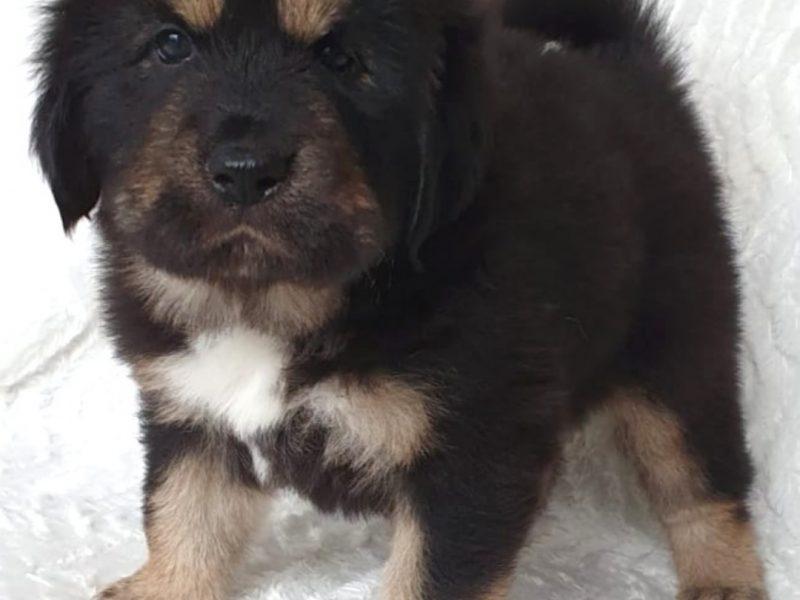 Tibetan Mastiff FCI puppies for sale!
