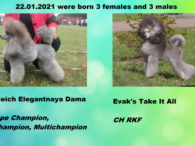 Miniature poodle silver males